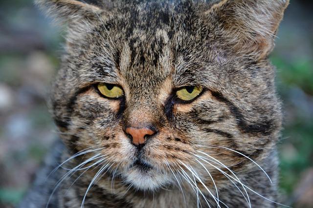Kedi Bıyığı Hakkında Bilgiler