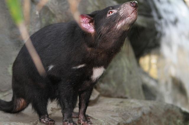 Tasmanya Canavarı Hakkında