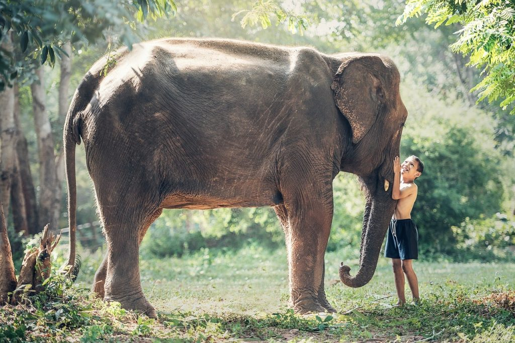 Kamboçya'da fil ve insan dostluğu