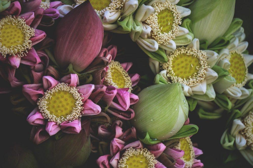 Kamboçya'nın Meşhur Lotus Çiçeği