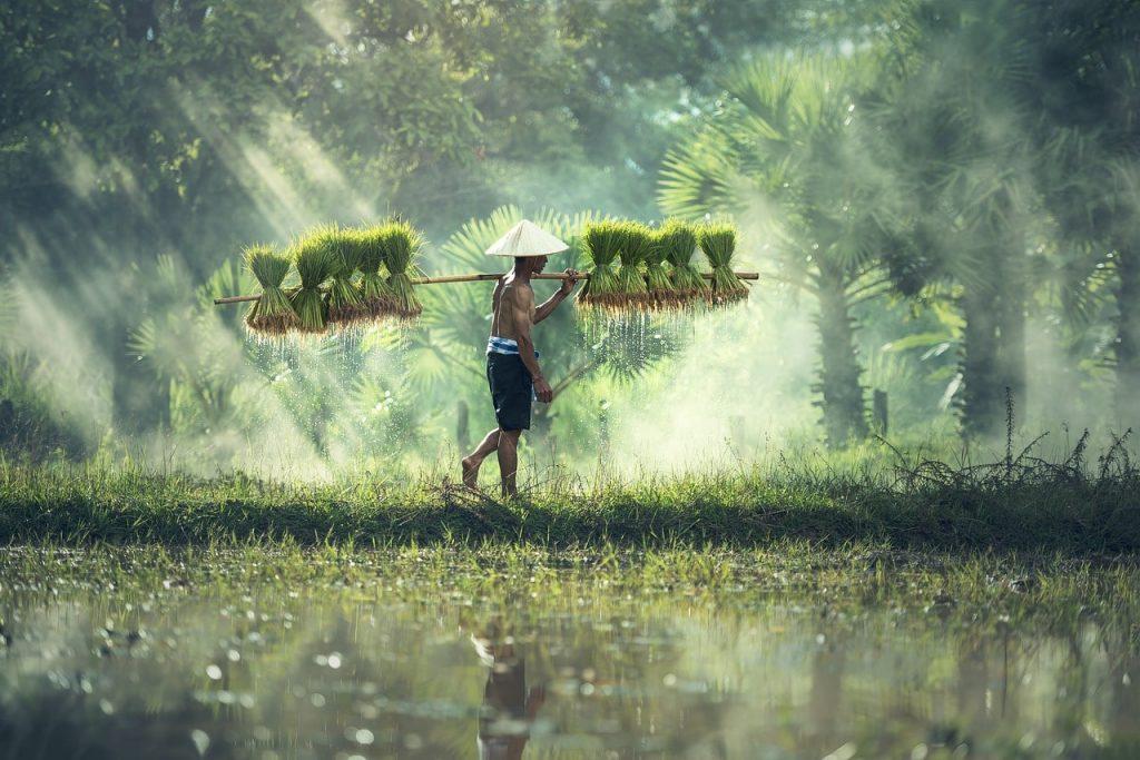 Kamboçya'da Tarım ile ilgilenen adam