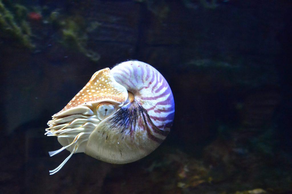 Kafadan bacaklı nautilus balığı