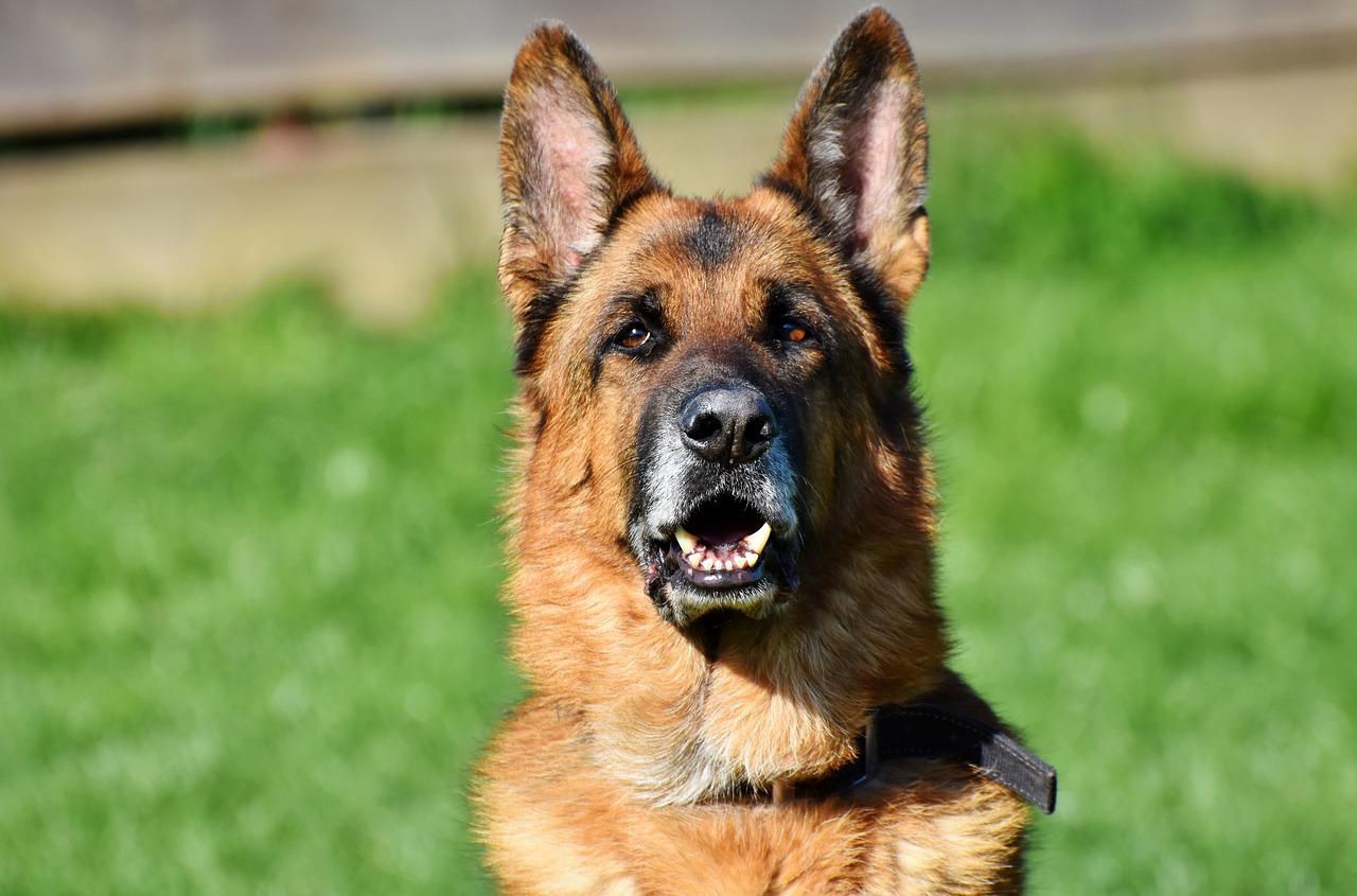 Alman Çoban Köpeği Fotoğrafı