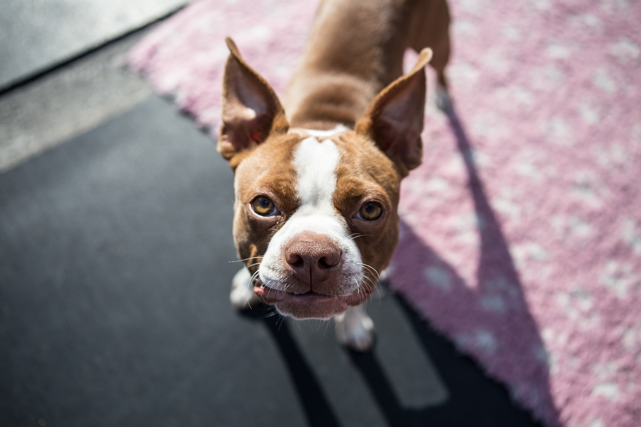 Boston Terrier Cinsi Köpek