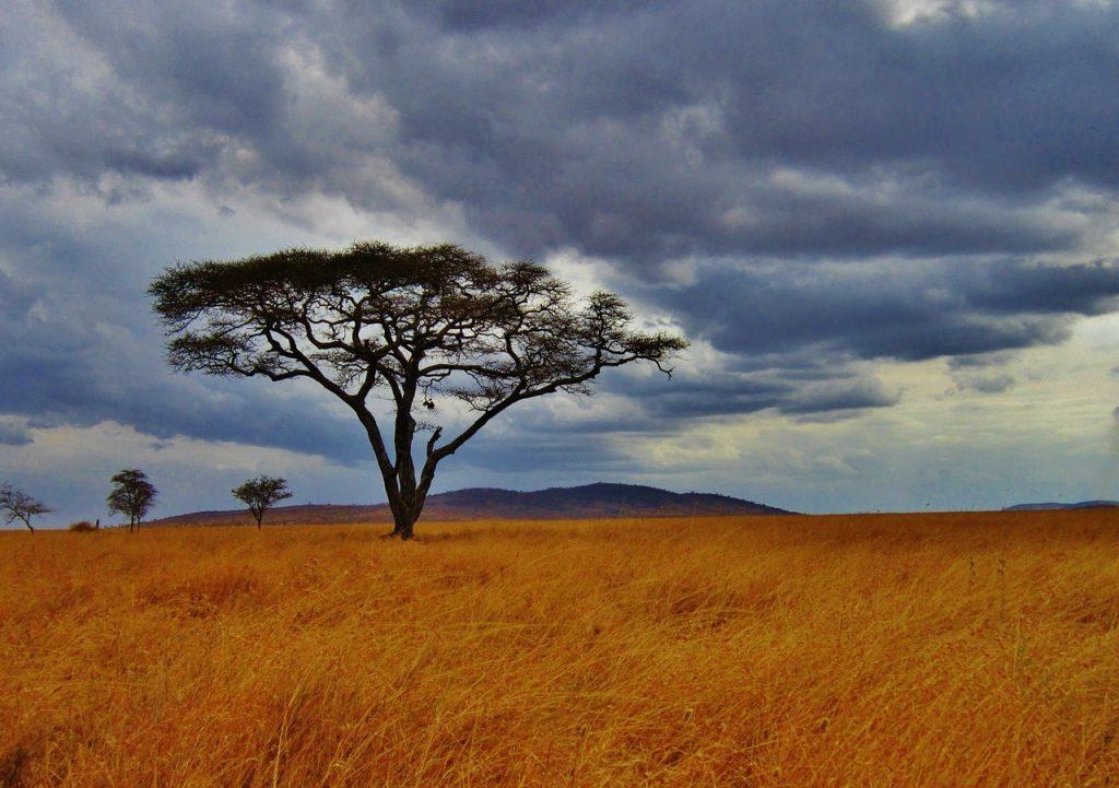 Akasya Ağacı Sıcak İklim