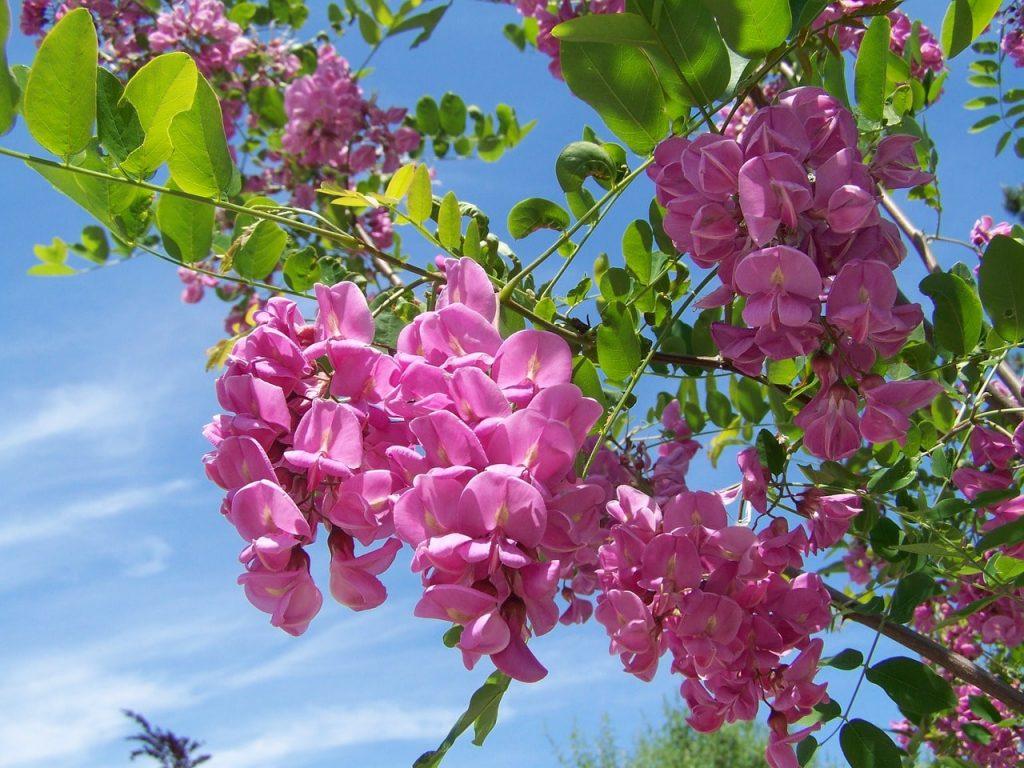 Bahçelerde süs bitki olarak akasya çiçeği kullanımı
