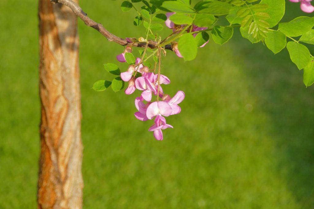 Akasya çiçeğinin sapı hakkında