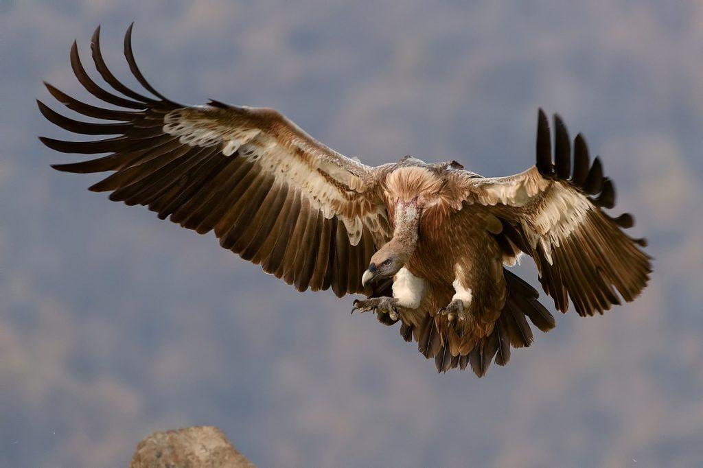 Akbaba saatlerce havada kalabilir