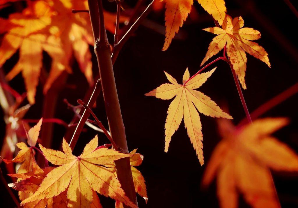 Akçaağaçların yaprakları insan elini anımsatır