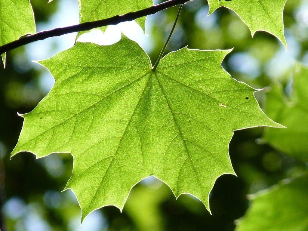 Akçaağaç Yapraklarının Işık İhtiyacı