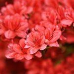 Açelya Bitkisi Hakkında Doğadan Bilgiler