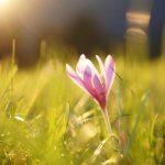 Acı Çiğdem Hakkında Doğadan Bilgiler