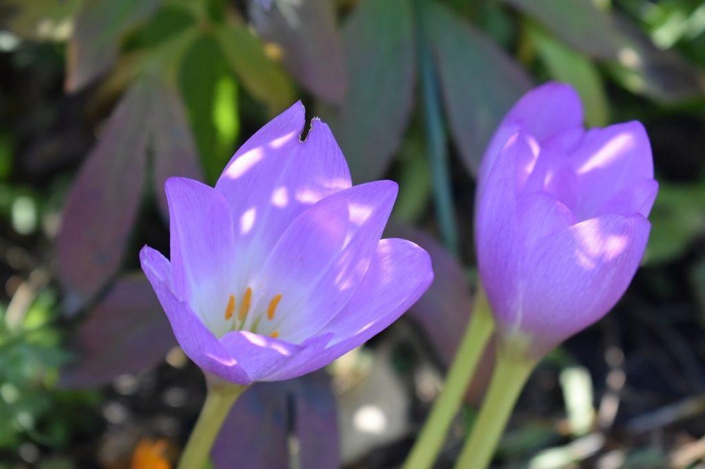 Acı Çiğdem Çiçeği Hakkında