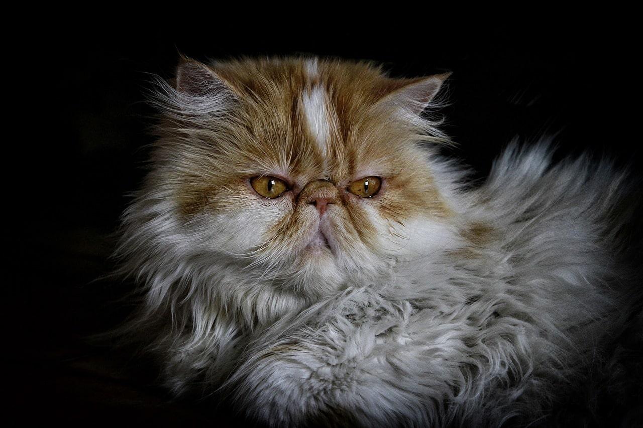 Fars Kedisi Hakkında
