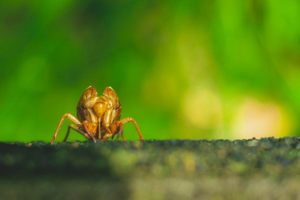 Ağustos Böceği ile Karınca Hikayesi Gerçekleri