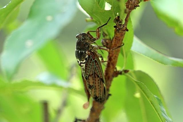 Ağustos Böceği Hakkında Doğadan Bilgiler