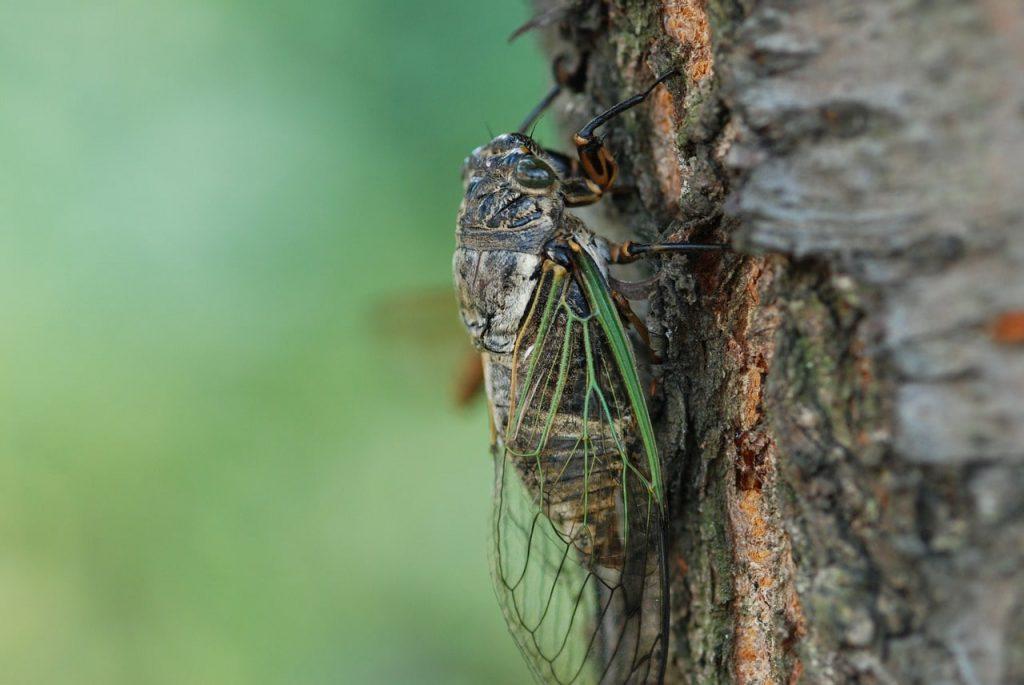 Ağustos Böceğinin Ömrü Hakkında Bilgiler
