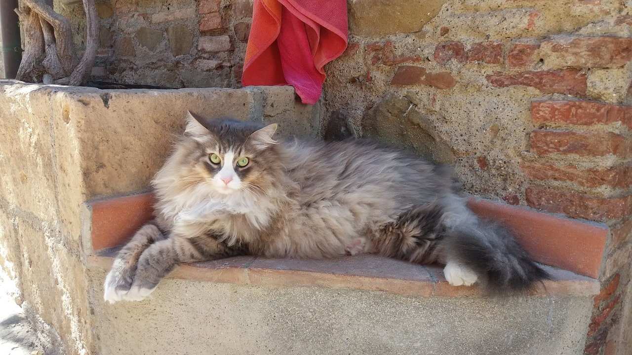 Sibirya Kedisi Hakkında