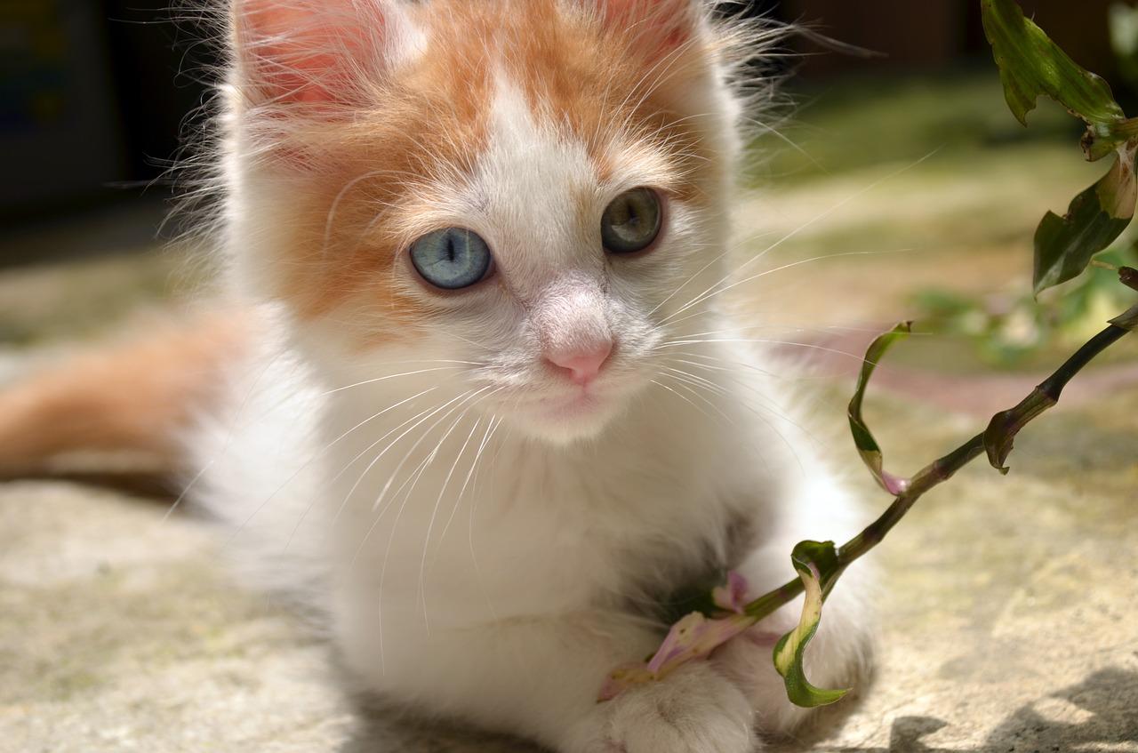 Van Kedisi Hakkında