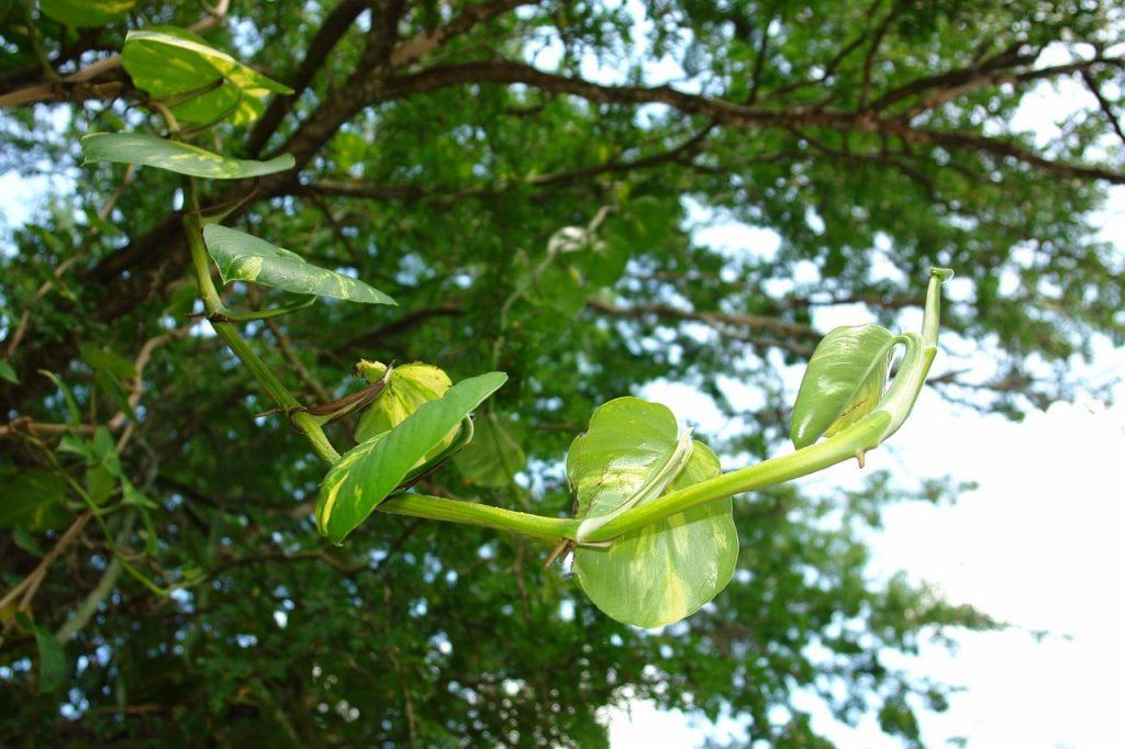 Abanoz Ağacı Hakkında Ağaçsal Bilgiler