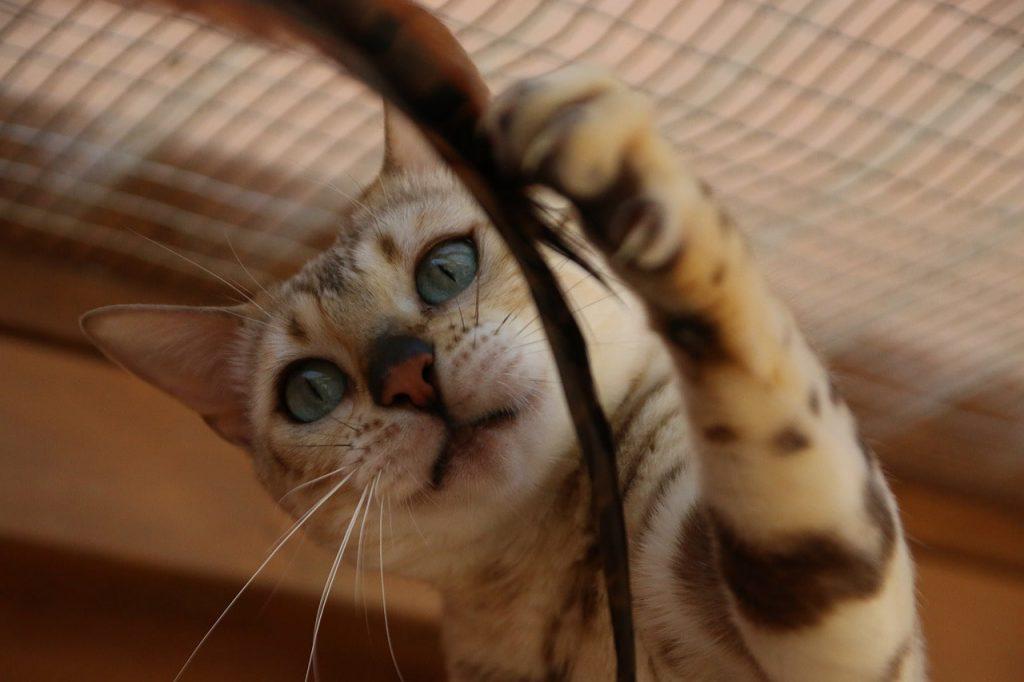 Pars Kedi Özellikleri ve Güzelliği