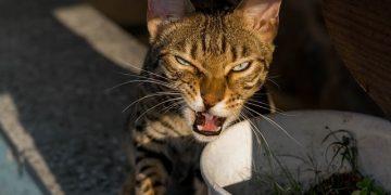 Pars Kedisi Hakkında Kedisel Bilgiler