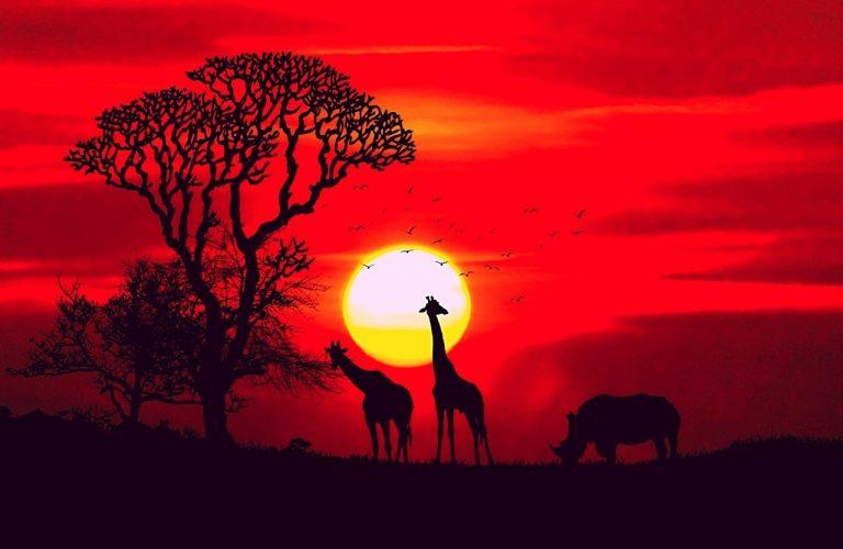 zürafalar fotoğraf